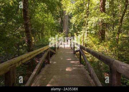 Big Basin Redwoods State Park.  Santa Cruz county, California, USA. - Stock Photo