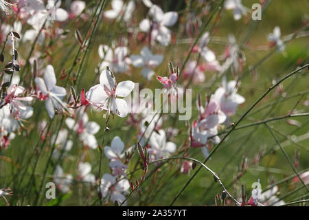 Tiny white flower of gaura lindheimeri or whirling butterflies in the sun with morning dew oenothera lindheimeri, Lindheimer's beeblossom close up - Stock Photo