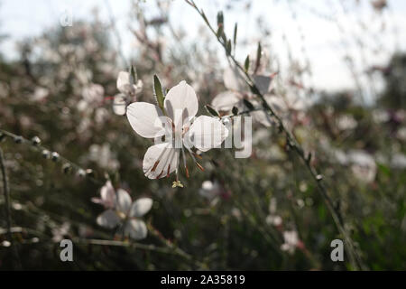 Tiny white flower of gaura lindheimeri or whirling butterflies in the sun with morning dew ooenothera lindheimeri, Lindheimer's beeblossom close up - Stock Photo