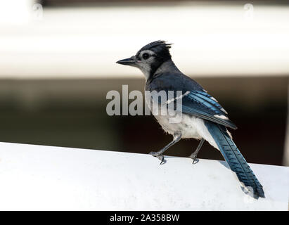 Closeup of juvenile songbird,Blue Jay (Cyanocitta cristata) perching on a wall in Quebec,Canada - Stock Photo