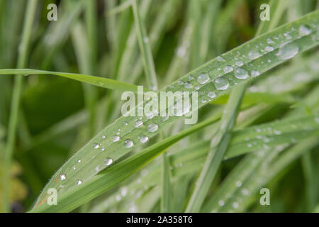 Macro close-up shot of water drops on a blade of grass. Leaf with water drops on it. - Stock Photo