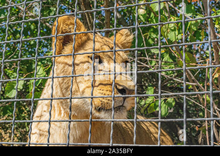 Young lioness behind the fence at the zoo. Close-up portrait - Stock Photo