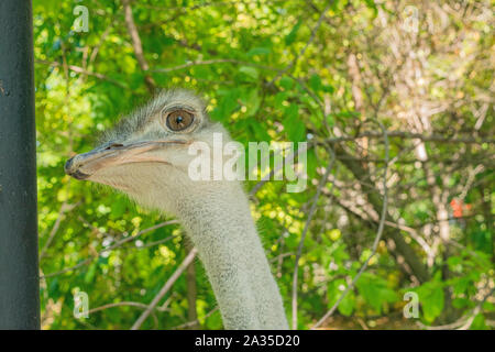 Adult ostrich in the zoo. Close-up portrait against green foliage - Stock Photo