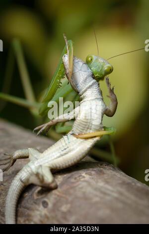 Praying mantis eating lizard - Mantis religiosa - Stock Photo