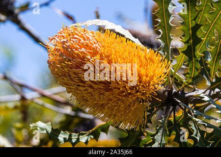 University of California at Santa Cruz Arboretum, Orange Banksia - Stock Photo