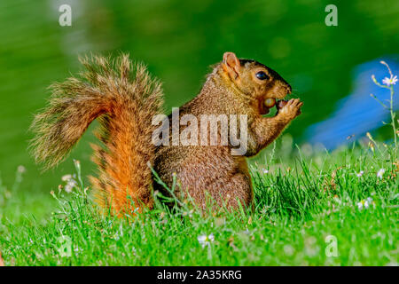 fox squirrel (Sciurus niger) with two acorns stuffed in it's mouth as it prepares for fall - Stock Photo