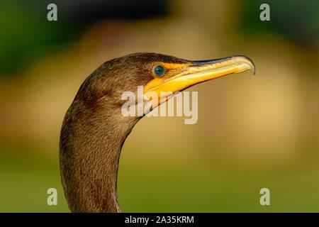 Double-crested cormorant - Phalacrocorax auritus - vivid detail, close-up profile of head, beak and eyes - Stock Photo
