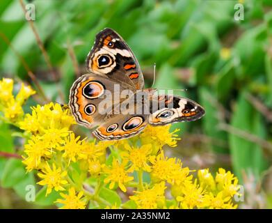 A beautiful common buckeye butterfly feeding on yellow flowers.
