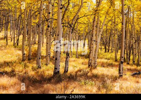 Fall foliage with autumn colors, Aspen trees, Aspen Ridge, Central Colorado, USA Stock Photo