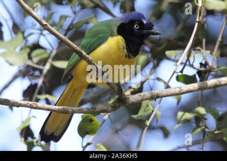 Cyanocorax incas green jay Inca jay neotropical bird in the humid forest - Stock Photo
