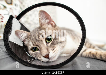 Young cat half-breed is lying relaxed on the bed, at home in a veterinary collar after the operation. Close-up. - Stock Photo
