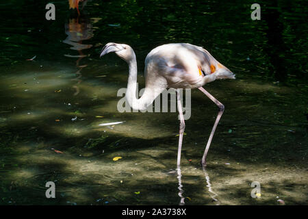 The American flamingo, Phoenicopterus ruber is a large species of flamingo, also known as the Caribbean flamingo. - Stock Photo