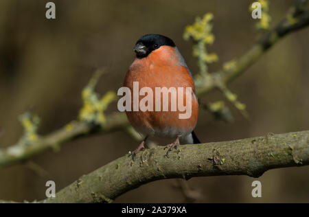Close up photo of a male Eurasian Bullfinch (Pyrrhula pyrrhula) sat on a branch. - Stock Photo