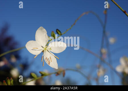 Tiny white flowers of gaura lindheimeri or whirling butterflies with morning dew in the sun towards blue sky macro oenothera lindheimeri, Lindheimer's - Stock Photo