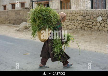 Leh, Jammu and Kashmir, India - July 25, 2011: Tibetan refugee in Leh countryside, around Thiksey Monastery, carrying plants on basket - Stock Photo