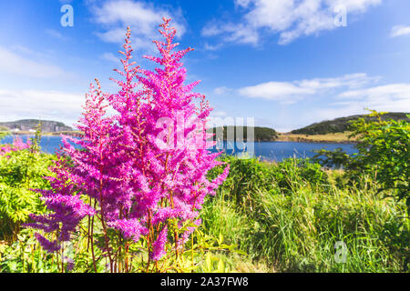 Purple and pink garden lupin wild flowers in Newfoundland - Stock Photo