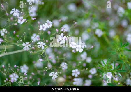 Saxifraga blooming flowers, stoloniferous perennial herb in Altai. - Stock Photo