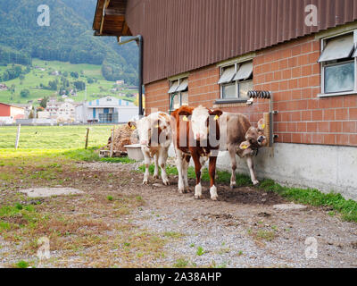Red Holstein und Braunvie - Kälber zweier Hausrind-Rassen auf einem Bauernhof in der Schweiz - Stock Photo