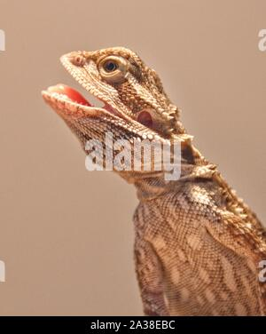 Portrait of a young central bearded dragon with an open mouth - Stock Photo