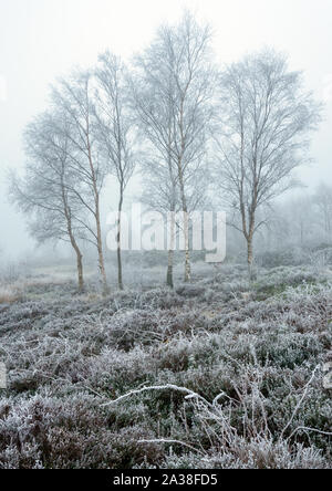 A group of Silver Birch trees stand out against the starkly frozen landscape of a frosty, misty winter day on Otley Chevin, Yorkshire. - Stock Photo