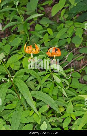 Turk's-cap Lily, Lilium superbum - Stock Photo