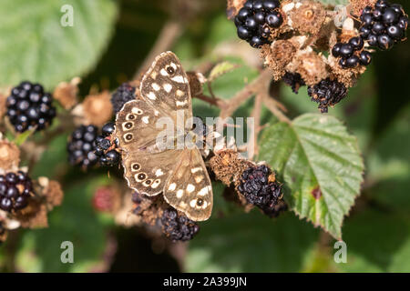 A speckled wood butterfly (UK) on ripe blackberries. - Stock Photo