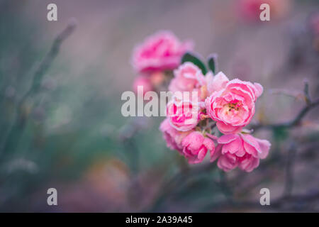 Closeup of a pink rose covered by morning frost, toned - Stock Photo