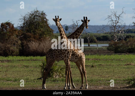 Masai giraffe in Selous Game Reserve in Tanzania - Stock Photo