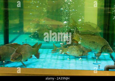 Live fish in the aquarium. Carps in the aquarium. - Stock Photo