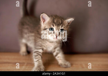 Little kitten stands on a wooden floor and looks in front of itself on a gray wall background. - Stock Photo