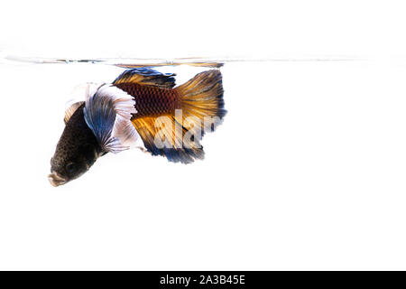 Siamese fighting Fish. Betta fish in beautiful movement with yellow color on black background - Stock Photo