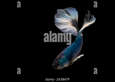 Siamese fighting Fish. Betta fish in beautiful movement with blue color on black background - Stock Photo