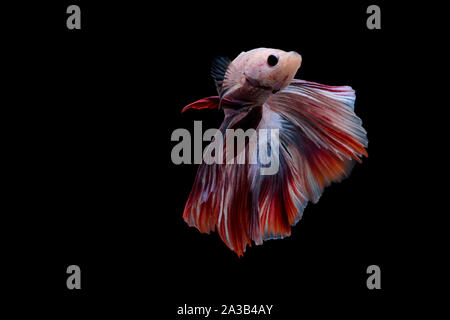Siamese fighting Fish. Betta fish in beautiful movement with red and pink color on black background - Stock Photo