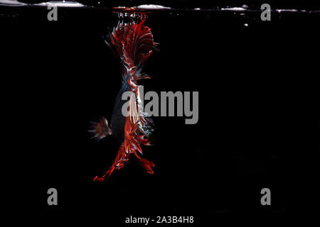 Siamese fighting Fish. Betta fish in beautiful movement with red color on black background - Stock Photo
