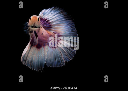 Siamese fighting Fish. Betta fish in beautiful movement with white color on black background - Stock Photo