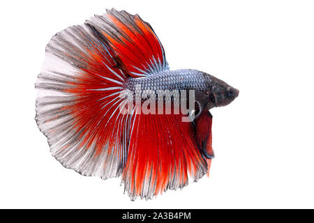 Siamese fighting Fish. Betta fish in beautiful movement with red and blue color on black background - Stock Photo