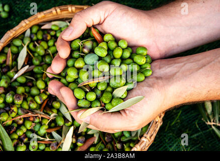 Male hands full of freshly picked olives during harvesting in Tuscany, Italy - Stock Photo