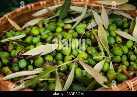 Freshly picked olives during harvesting in Tuscany, Italy - Stock Photo