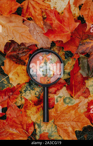 Magnifying glass lying on ground heap of colorful multicolor autumn fall yellow, red and orange maple leaves. Education, learning and back to school c - Stock Photo