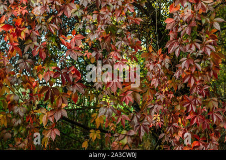 Red wild wine leaves. Autumn colors. Creeper on the tree. Northern Europe in October.