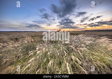 Natural heathland landscape with grass vegetation near Hijken in Province of Drenthe on beautiful summer evening in the Netherlands - Stock Photo