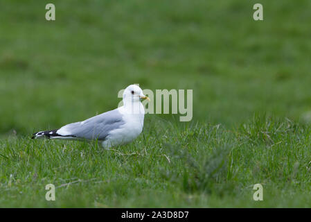 Common Gull, Larus canus,  Single adult standing on grass. Findhorn Valley, Scotland, UK. - Stock Photo