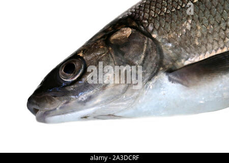 Fish head portrait. Whitefish (Coregonus lavaretus) - very polymorphic species of fish. Form from East part Gulf of Finland, Baltic sea. Fish isolated - Stock Photo