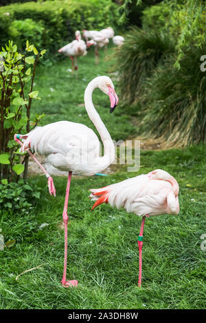 Two pink flamingo standing on one leg on a background of green bushes - Stock Photo