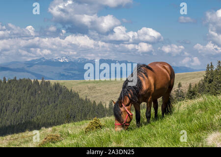Brown horse grazing on hill, in Romanian Carpathian Mountains - Stock Photo