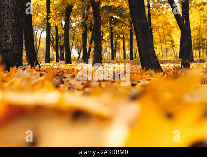 Autumn sunny landscape. Road to yellow forest. Autumn park of trees and fallen autumn leaves on the ground in the park on a sunny October day.template - Stock Photo