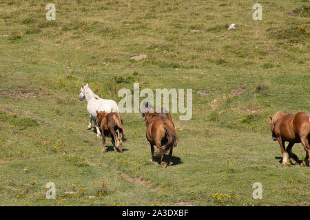 horses with long hair grazing in the fields - Stock Photo