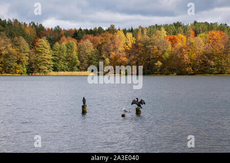 Two cormorants on wooden pilings, one cormorant in love showing wings, wonderful autumn landscape with with brilliant green, yellow and orange foliage - Stock Photo
