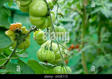 Ridged tomato green tomatoes growing in a garden greenhouse UK  KATHY DEWITT - Stock Photo