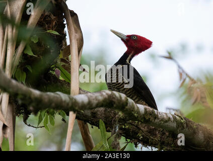 pale-billed woodpecker - Stock Photo
